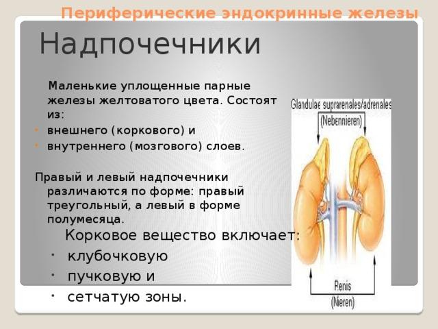 Периферические эндокринные железы Надпочечники  Маленькие уплощенные парные железы желтоватого цвета. Состоят из: внешнего (коркового) и внутреннего (мозгового) слоев. Правый и левый надпочечники различаются по форме: правый треугольный, а левый в форме полумесяца.  Корковое вещество включает: