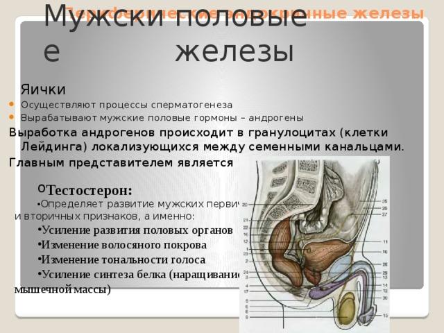 Периферические эндокринные железы Мужские половые железы  Яички Осуществляют процессы сперматогенеза Вырабатывают мужские половые гормоны – андрогены Выработка андрогенов происходит в гранулоцитах (клетки Лейдинга) локализующихся между семенными канальцами. Главным представителем является