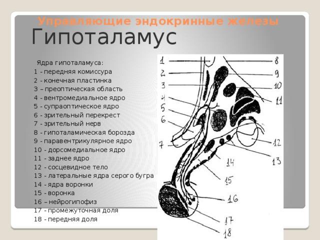 Управляющие эндокринные железы Гипоталамус  Ядра гипоталамуса: 1 - передняя комиссура 2 - конечная пластинка 3 – преоптическая область 4 - вентромедиальное ядро 5 - супраоптическое ядро 6 - зрительный перекрест 7 - зрительный нерв 8 - гипоталамическая борозда 9 - паравентрикулярное ядро 10 - дорсомедиальное ядро 11 - заднее ядро 12 - сосцевидное тело 13 - латеральные ядра серого бугра 14 - ядра воронки 15 - воронка 16 – нейрогипофиз 17 - промежуточная доля 18 - передняя доля