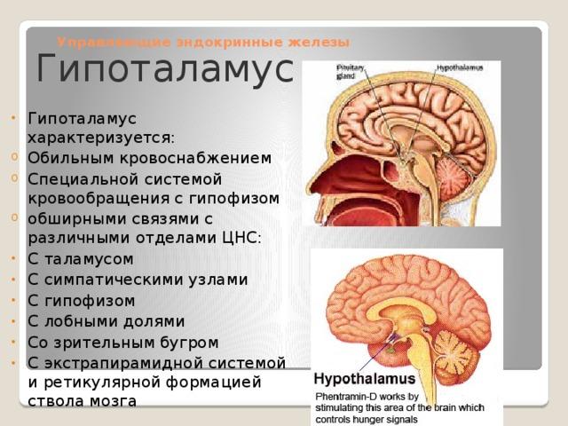 Управляющие эндокринные железы Гипоталамус
