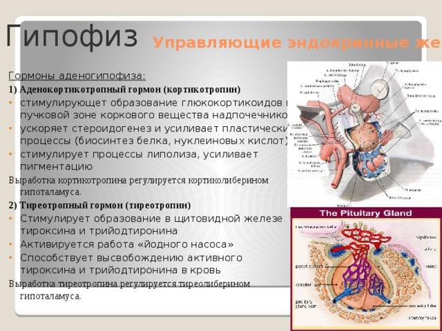 Гипофиз Управляющие эндокринные железы Гормоны аденогипофиза: 1) Аденокортикотропный гормон (кортикотропин) стимулирующет образование глюкокортикоидов в пучковой зоне коркового вещества надпочечников. ускоряет стероидогенез и усиливает пластические процессы (биосинтез белка, нуклеиновых кислот). стимулирует процессы липолиза, усиливает пигментацию Выработка кортикотропина регулируется кортиколиберином гипоталамуса. 2) Тиреотропный гормон (тиреотропин) Стимулирует образование в щитовидной железе тироксина и трийодтиронина Активируется работа «йодного насоса» Способствует высвобождению активного тироксина и трийодтиронина в кровь Выработка тиреотропина регулируется тиреолиберином гипоталамуса.