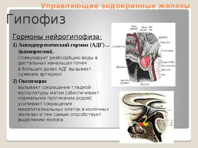 Управляющие эндокринные железы Гипофиз Гормоны нейрогипофиза: 1) Антидиуретический гормон (АДГ)… (вазопрессин). стимулирует реабсорбцию воды в дистальных канальцах почек в больших дозах АДГ вызывает сужение артериол 2) Окситоцин вызывает сокращение гладкой мускулатуры матки (обеспечивает нормальное протекание родов) усиливает сокращение миоэпителиальных клеток в молочных железах и тем самым способствует выделению молока