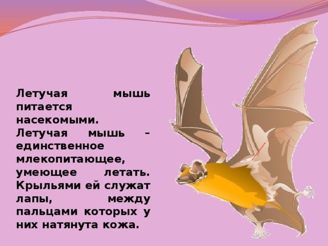 Летучая мышь питается насекомыми. Летучая мышь – единственное млекопитающее, умеющее летать. Крыльями ей служат лапы, между пальцами которых у них натянута кожа.
