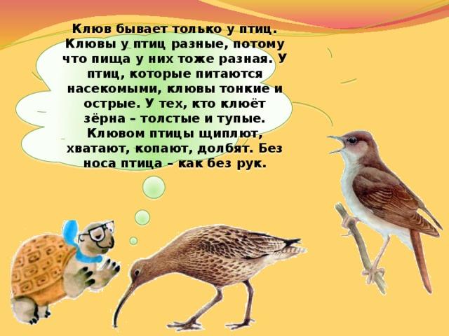 Клюв бывает только у птиц. Клювы у птиц разные, потому что пища у них тоже разная. У птиц, которые питаются насекомыми, клювы тонкие и острые. У тех, кто клюёт зёрна – толстые и тупые. Клювом птицы щиплют, хватают, копают, долбят. Без носа птица – как без рук.