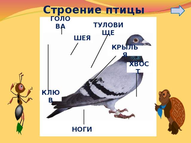 Строение птицы ГОЛОВА ТУЛОВИЩЕ ШЕЯ КРЫЛЬЯ ХВОСТ КЛЮВ НОГИ