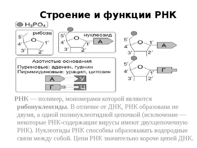 Строение и функции РНК    РНК — полимер, мономерами которой являются рибонуклеотиды . В отличие от ДНК, РНК образована не двумя, а одной полинуклеотидной цепочкой (исключение — некоторые РНК-содержащие вирусы имеют двухцепочечную РНК). Нуклеотиды РНК способны образовывать водородные связи между собой. Цепи РНК значительно короче цепей ДНК.