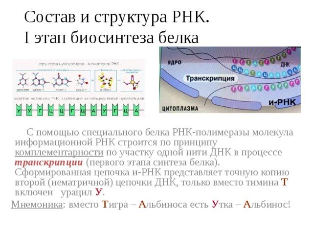 Состав и структура РНК.  I этап биосинтеза белка и-РНК  С помощью специального белка РНК-полимеразы молекула информационной РНК строится по принципу комплементарности по участку одной нити ДНК в процессе транскрипции (первого этапа синтеза белка). Сформированная цепочка и-РНК представляет точную копию второй (нематричной) цепочки ДНК, только вместо тимина Т включен урацил У .  Мнемоника : вместо Т игра – А льбиноса есть У тка – А льбинос!