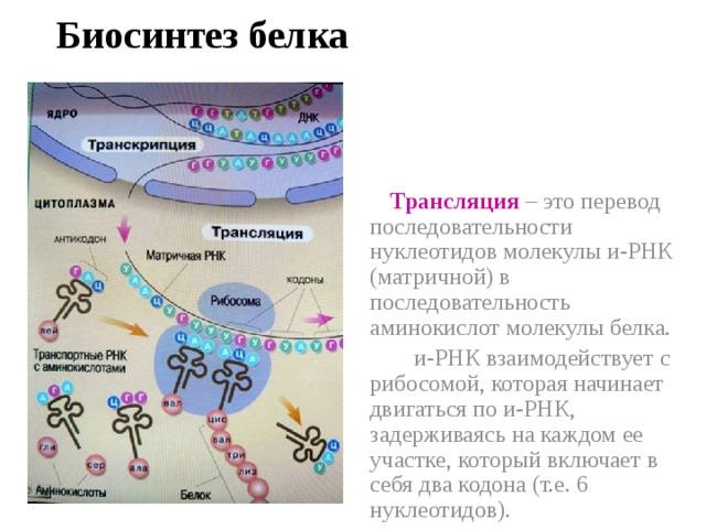 Биосинтез белка  Трансляция  – это перевод последовательности нуклеотидов молекулы и-РНК (матричной) в последовательность аминокислот молекулы белка.  и-РНК взаимодействует с рибосомой, которая начинает двигаться по и-РНК, задерживаясь на каждом ее участке, который включает в себя два кодона (т.е. 6 нуклеотидов).
