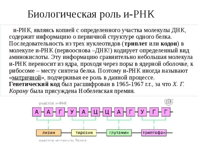 Биологическая роль и-РНК  и-РНК, являясь копией с определенного участка молекулы ДНК, содержит информацию о первичной структуре одного белка. Последовательность из трех нуклеотидов ( триплет или кодон ) в молекуле и-РНК (первооснова –ДНК!) кодирует определенный вид аминокислоты. Эту информацию сравнительно небольшая молекула и-РНК переносит из ядра, проходя через поры в ядерной оболочке, к рибосоме – месту синтеза белка. Поэтому и-РНК иногда называют « матричной », подчеркивая ее роль в данной процессе. Генетический код был расшифрован в 1965-1967 г.г., за что Х. Г. Корану была присуждена Нобелевская премия.