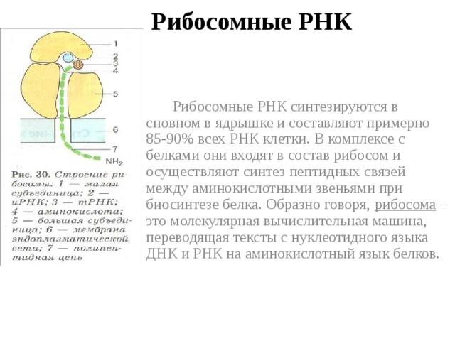 Рибосомные РНК  Рибосомные РНК синтезируются в сновном в ядрышке и составляют примерно 85-90% всех РНК клетки. В комплексе с белками они входят в состав рибосом и осуществляют синтез пептидных связей между аминокислотными звеньями при биосинтезе белка. Образно говоря, рибосома – это молекулярная вычислительная машина, переводящая тексты с нуклеотидного языка ДНК и РНК на аминокислотный язык белков.