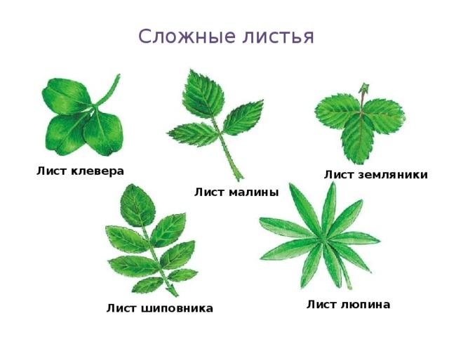 Сложные листья Лист клевера Лист земляники Лист малины Лист люпина Лист шиповника
