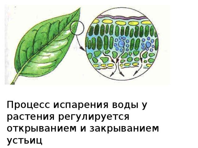 Процесс испарения воды у растения регулируется открыванием и закрыванием устьиц