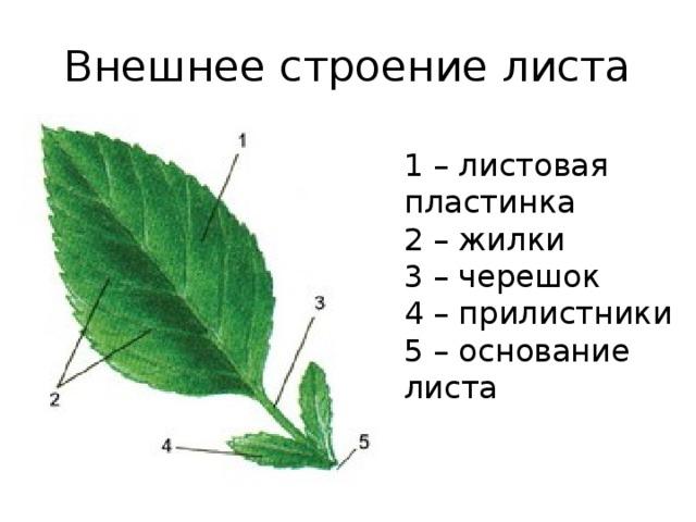 Внешнее строение листа 1 – листовая пластинка 2 – жилки 3 – черешок 4 – прилистники 5 – основание листа