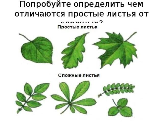 Попробуйте определить чем отличаются простые листья от сложных?