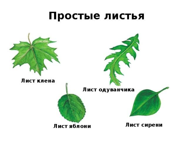 Простые листья Лист клена Лист одуванчика Лист сирени Лист яблони
