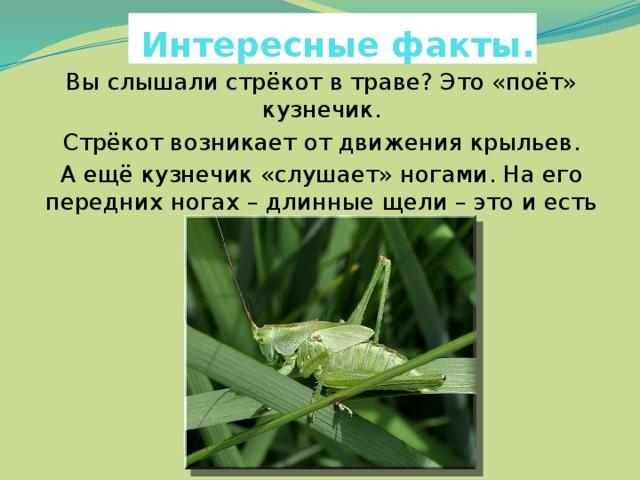 Интересные факты. Вы слышали стрёкот в траве? Это «поёт» кузнечик. Стрёкот возникает от движения крыльев. А ещё кузнечик «слушает» ногами. На его передних ногах – длинные щели – это и есть «уши».