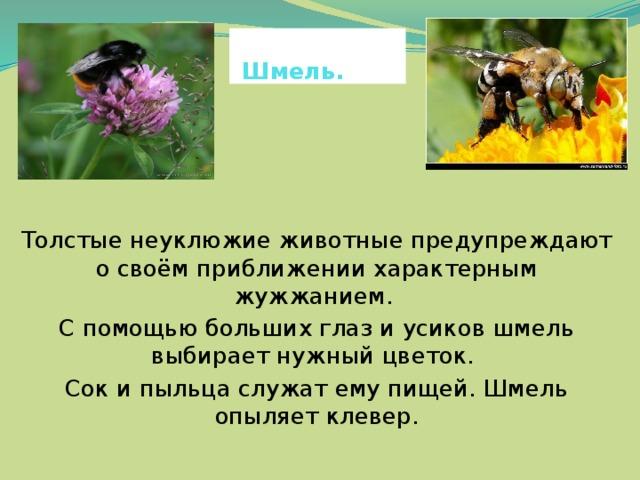 Шмель. Толстые неуклюжие животные предупреждают о своём приближении характерным жужжанием. С помощью больших глаз и усиков шмель выбирает нужный цветок. Сок и пыльца служат ему пищей. Шмель опыляет клевер.