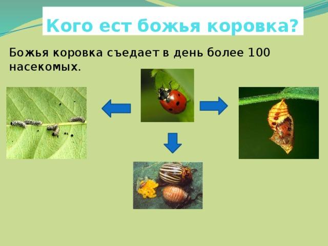 Кого ест божья коровка? Божья коровка съедает в день более 100 насекомых. яйцаВ го куколок