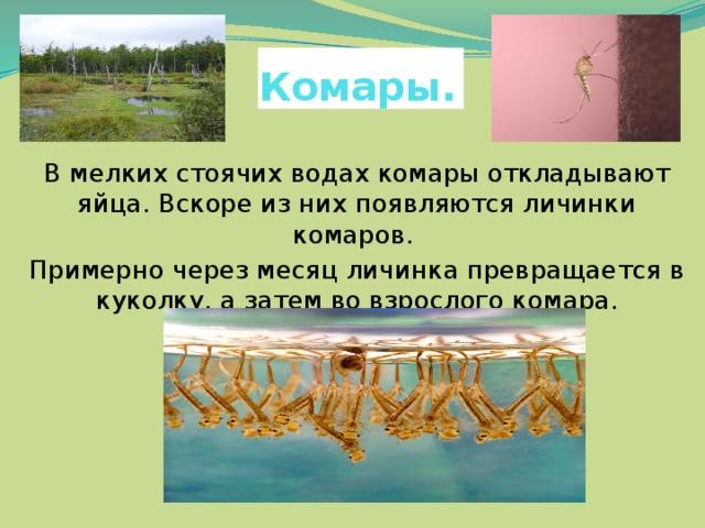 Комары . В мелких стоячих водах комары откладывают яйца. Вскоре из них появляются личинки комаров. Примерно через месяц личинка превращается в куколку, а затем во взрослого комара.