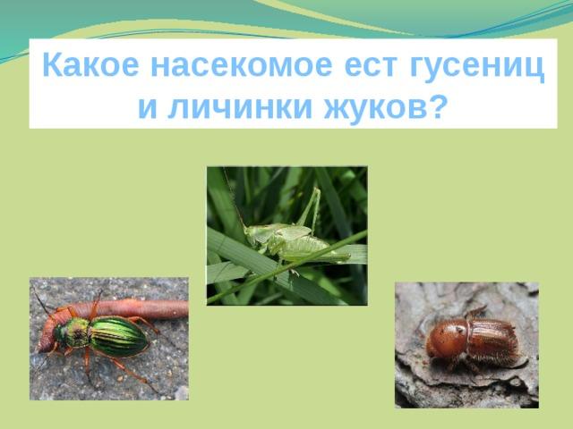 Какое насекомое ест гусениц и личинки жуков?