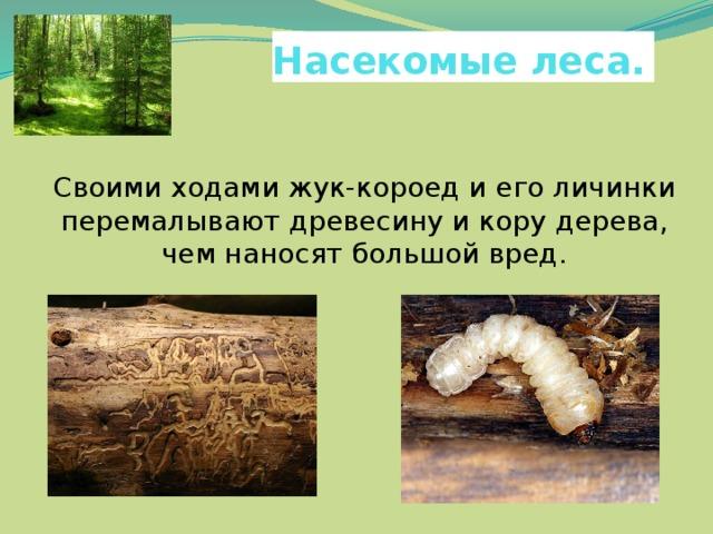 Насекомые леса.  Своими ходами жук-короед и его личинки перемалывают древесину и кору дерева, чем наносят большой вред.