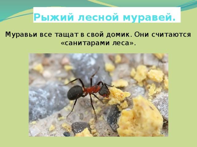 Рыжий лесной муравей. Муравьи все тащат в свой домик. Они считаются «санитарами леса».