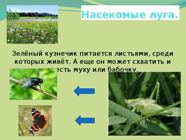 Насекомые луга. Зелёный кузнечик питается листьями, среди которых живёт. А еще он может схватить и съесть муху или бабочку.