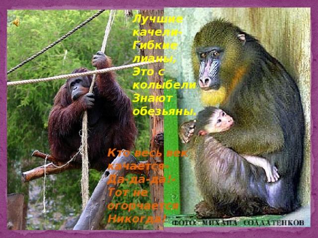 Лучшие качели- Гибкие лианы, Это с колыбели Знают обезьяны. Кто весь век качается- Да-да-да!- Тот не огорчается Никогда!