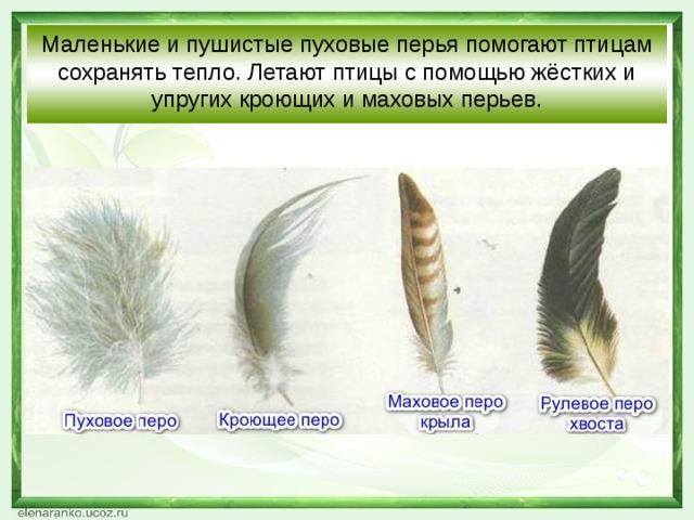 Маленькие и пушистые пуховые перья помогают птицам сохранять тепло. Летают птицы с помощью жёстких и упругих кроющих и маховых перьев.