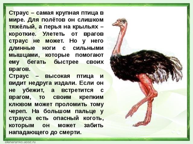 Страус – самая крупная птица в мире. Для полётов он слишком тяжёлый, а перья на крыльях – короткие. Улететь от врагов страус не может. Но у него длинные ноги с сильными мышцами, которые помогают ему бегать быстрее своих врагов. Страус – высокая птица и видит недруга издали. Если он не убежит, а встретится с врагом, то своим крепким клювом может проломить тому череп. На большом пальце у страуса есть опасный коготь, которым он может забить нападающего до смерти.