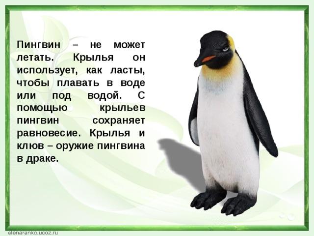 Пингвин – не может летать. Крылья он использует, как ласты, чтобы плавать в воде или под водой. С помощью крыльев пингвин сохраняет равновесие. Крылья и клюв – оружие пингвина в драке.