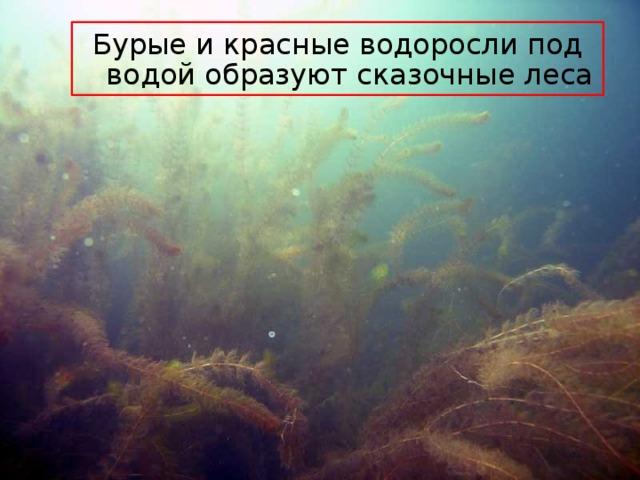 Бурые и красные водоросли под водой образуют сказочные леса
