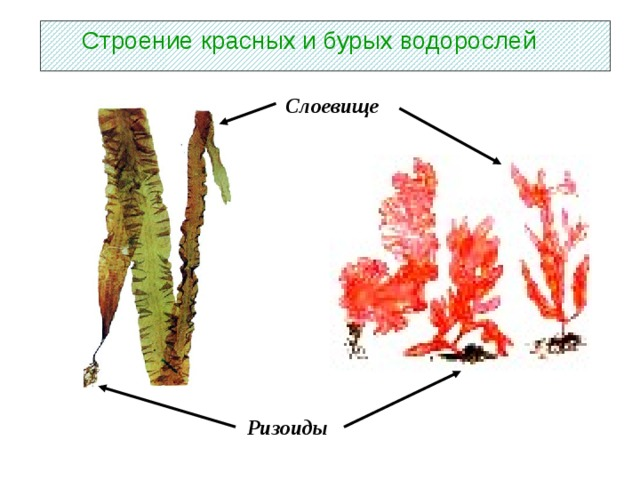 Строение красных и бурых водорослей Слоевище Ризоиды