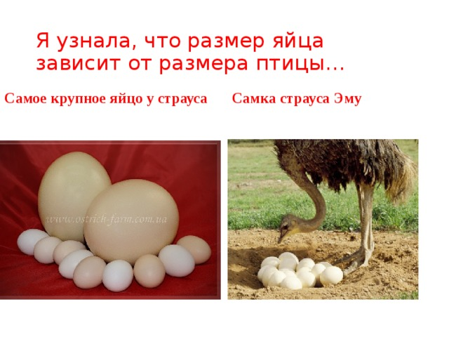 Я узнала, что размер яйца зависит от размера птицы… Самое крупное яйцо у страуса Самка страуса Эму