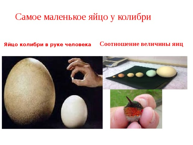 Самое маленькое яйцо у колибри   Яйцо колибри в руке человека Соотношение величины яиц