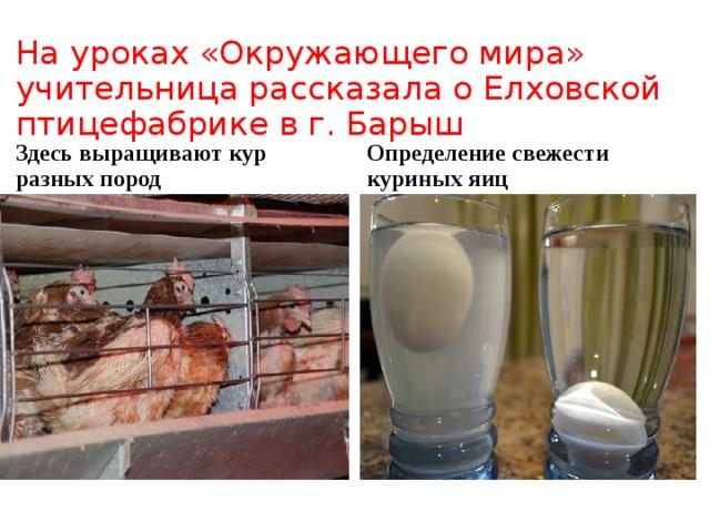На уроках «Окружающего мира» учительница рассказала о Елховской птицефабрике в г. Барыш Здесь выращивают кур разных пород Определение свежести куриных яиц