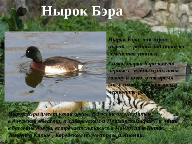 Нырок Бэра Нырок Бэра, илибэров нырок— редкий вид птиц из семействаутиных. Самец нырка Бэра имеет чёрные с зелёным отливом голову и шею, в то время как у самки голова и шея и черновато-рыжие.  Нырок Бэра имеет узкий ареал. В России он гнездится вАмурской области, вХабаровскомиПриморском краях, и лишь в бассейне Амура, встречается также вМонголиииКитае. Зимует в Китае , Корейском полуостровеиЯпонии.
