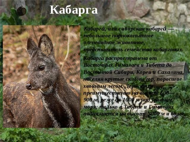 Кабарга Кабарга́, илисибирская кабарга́— небольшое парнокопытное оленевидное животное, представитель семействакабарговых. Кабарга распространена от ВосточныхГималаевиТибетадо Восточной Сибири,КореииСахалина, населяя крутые склоны гор, поросшие хвойным лесом. Держится преимущественно на высоте 600—900м, реже до 1600м над уровнем моря; только в Тибете и Гималаях поднимается на высоту 3000м и более.