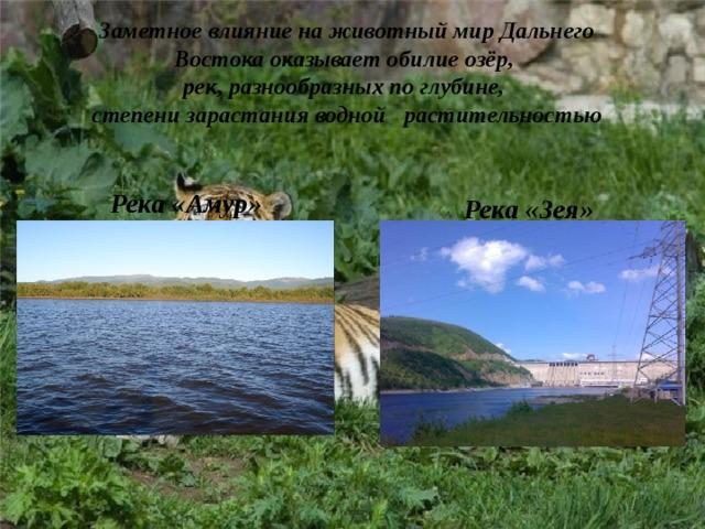 Заметное влияние на животный мир Дальнего Востока оказывает обилие озёр, рек, разнообразных по глубине, степени зарастания водной растительностью  Река «Амур» Река «Зея»