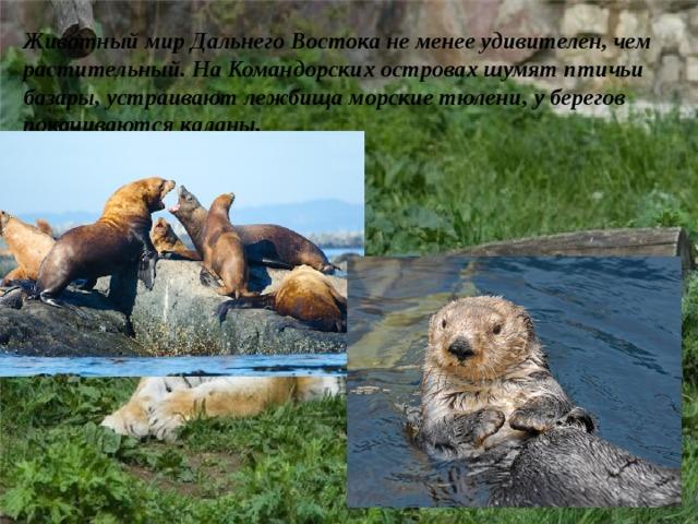 Животный мир Дальнего Востока не менее удивителен, чем растительный. На Командорских островах шумят птичьи базары, устраивают лежбища морские тюлени, у берегов покачиваются каланы.