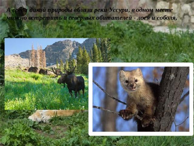 А среди дикой природы вблизи реки Уссури, в одном месте можно встретить и северных обитателей - лося и соболя,