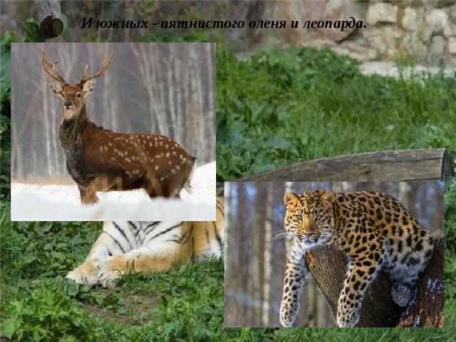 И южных - пятнистого оленя и леопарда.