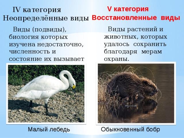 V категория  Восстановленные виды IV категория  Неопределённые виды  Виды растений и животных, которых удалось сохранить благодаря мерам охраны.  Виды (подвиды), биология которых изучена недостаточно, численность и состояние их вызывает тревогу. Малый лебедь Обыкновенный бобр