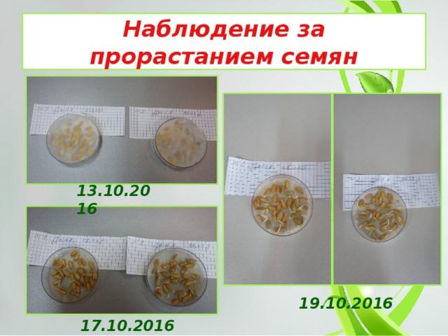 Наблюдение за прорастанием семян 13.10.2016 19.10.2016 17.10.2016