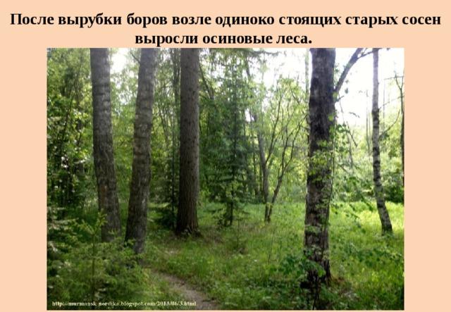 После вырубки боров возле одиноко стоящих старых сосен выросли осиновые леса.