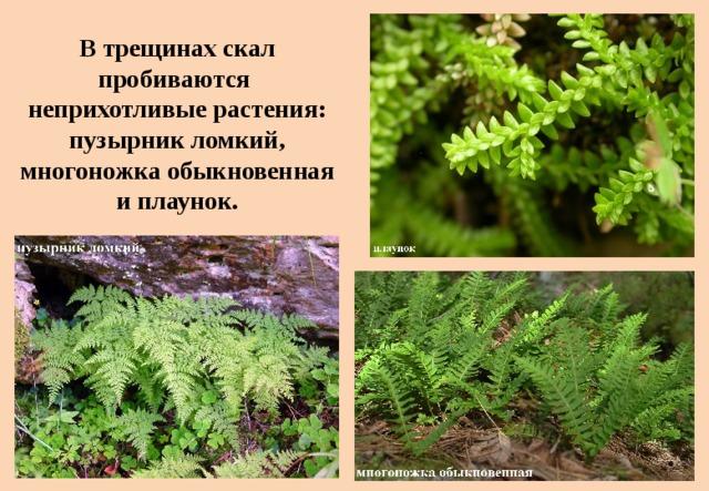 Втрещинах скал пробиваются  неприхотливые растения: пузырник ломкий, многоножка обыкновенная иплаунок.