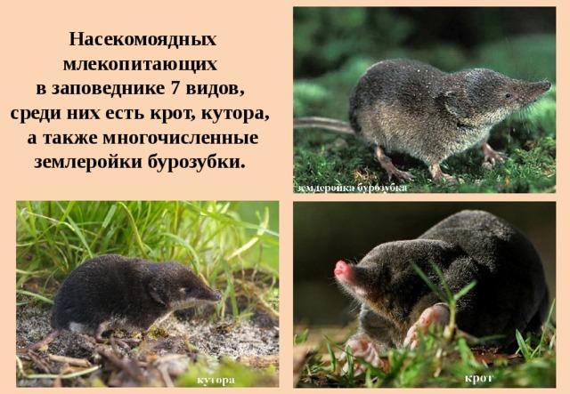 Насекомоядных млекопитающих  в заповеднике 7 видов,  среди них есть крот, кутора,  а также многочисленные землеройки бурозубки.
