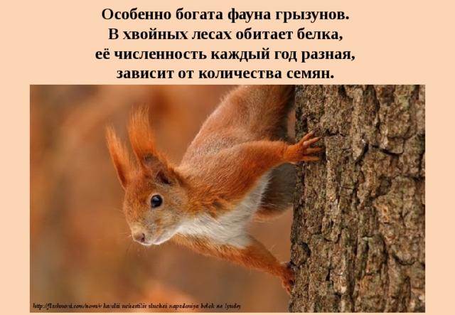Особенно богата фауна грызунов.  В хвойных лесах обитает белка,  её численность каждый год разная,  зависит от количества семян.
