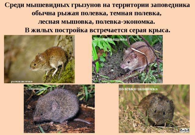 Среди мышевидных грызунов на территории заповедника обычна рыжая полевка, темная полевка,  лесная мышовка, полевка-экономка.  В жилых постройка встречается серая крыса.