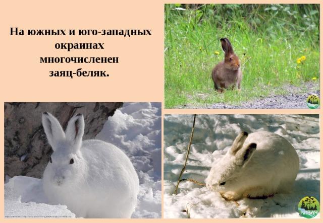 На южных и юго-западных окраинах  многочисленен  заяц-беляк.